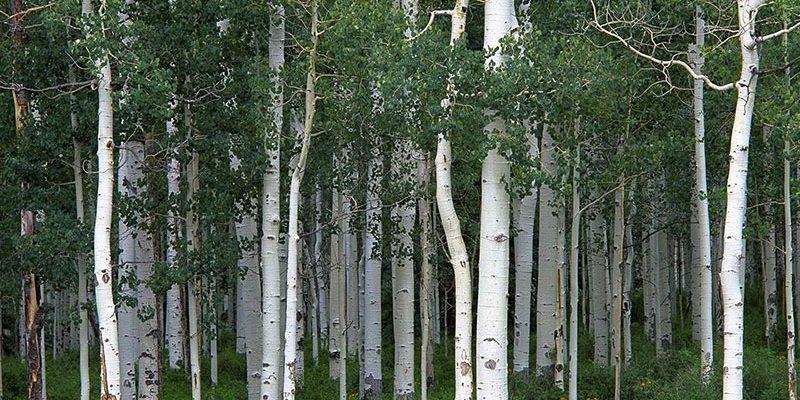 Как выглядит осина: фото дерева и листьев. Что это за дерево, его лечебные и полезные свойства