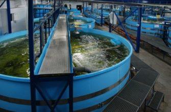Как выращивать рыбу в бассейне?