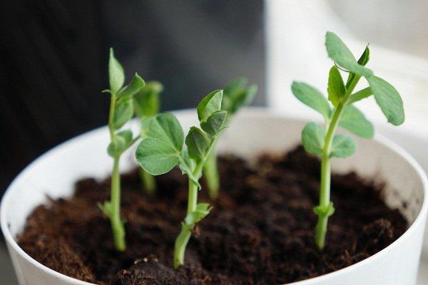Как вырастить горох в домашних условиях?