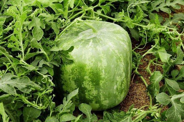 Как вырастить квадратный арбуз?