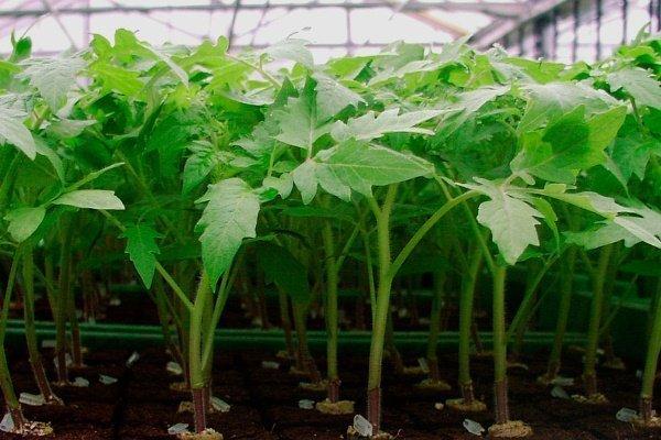 Как вырастить рассаду помидоров: полезные рекомендации