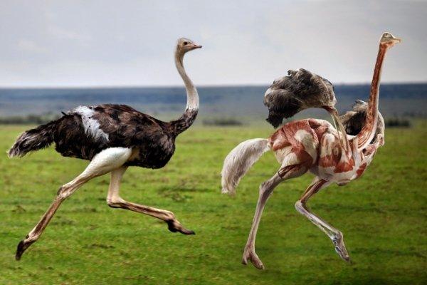Как забивать страуса: пошаговые инструкции
