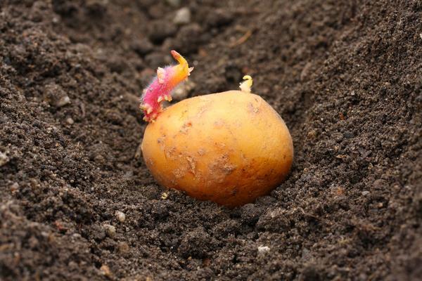 Какие дни самые благоприятные для посадки картофеля в открытый грунт?