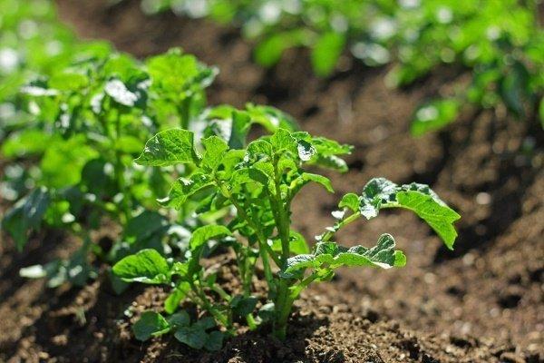 Какие гербициды для картофеля используют в борьбе с сорняками, и как их применять?