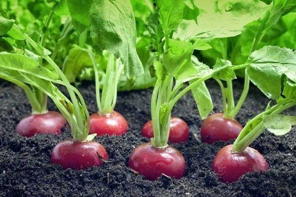 Какие культуры можно и нельзя сажать после сбора урожая редиса?