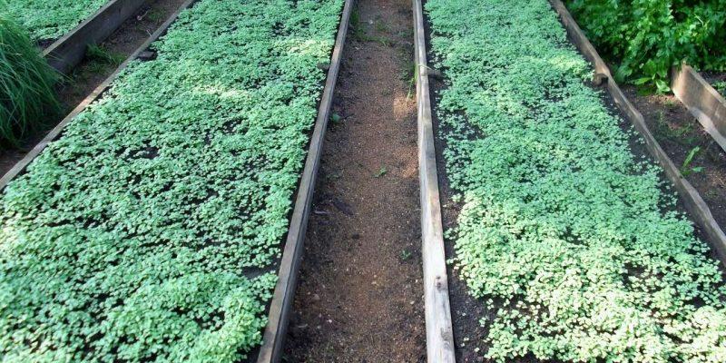 Какие сидераты для осеннего посева лучше использовать