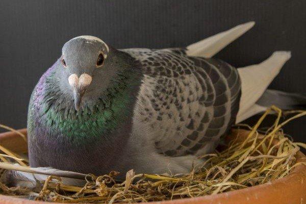 Какими бывают голубиные гнезда и как их изготовить?