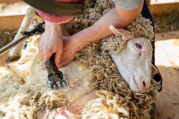 Какую выбрать машинку для стрижки овец?