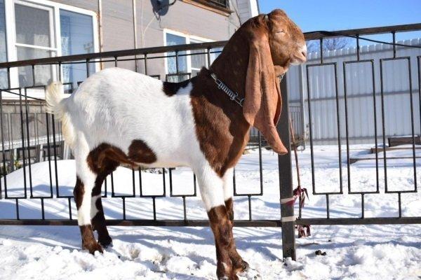 Камори – описание и характеристики пакистанской породы коз