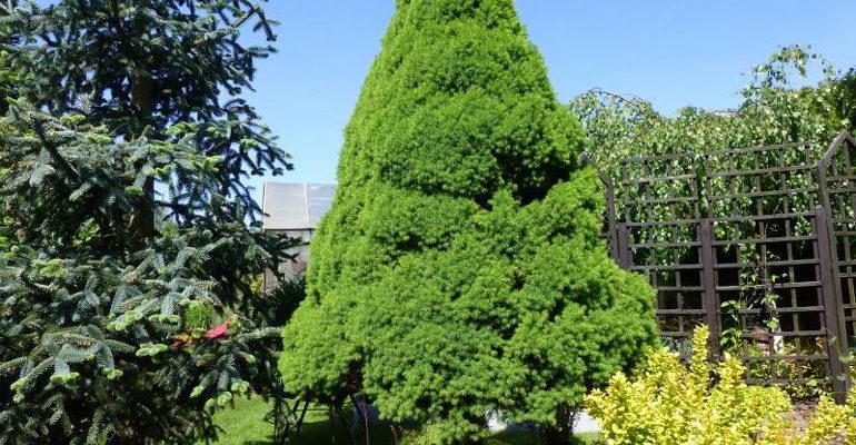 Канадская сизая ель Коника – посадка и уход в открытом грунте, фото