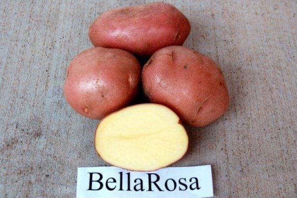 Картофель Беллароза – скороспелый, урожайный сорт