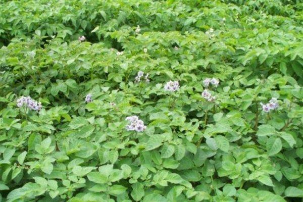 Картофель сорта «Вишенка»: характеристики, особенности выращивания и ухода