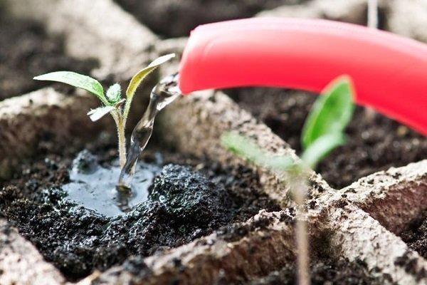 Когда и как правильно подкормить рассаду перца?