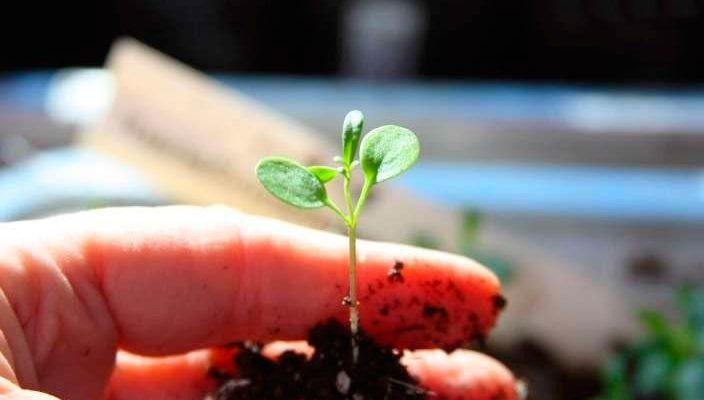 Когда сажать иберис семенами на рассаду в 2021 году