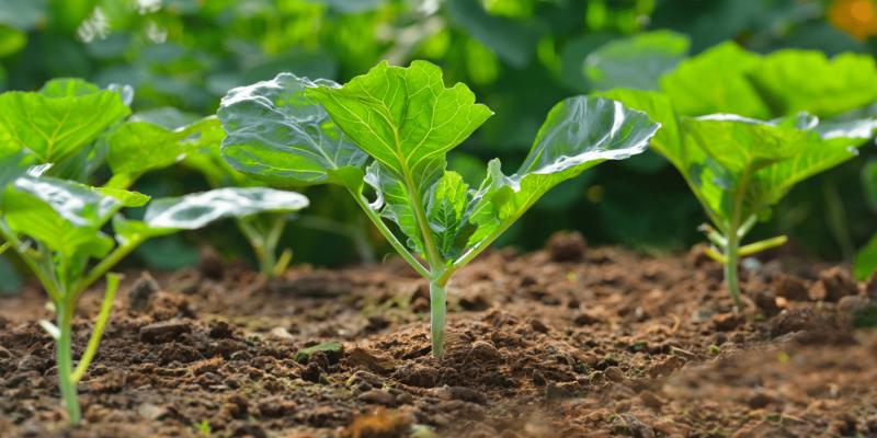 Когда сажать кольраби на рассаду в 2020 году: правила и уход