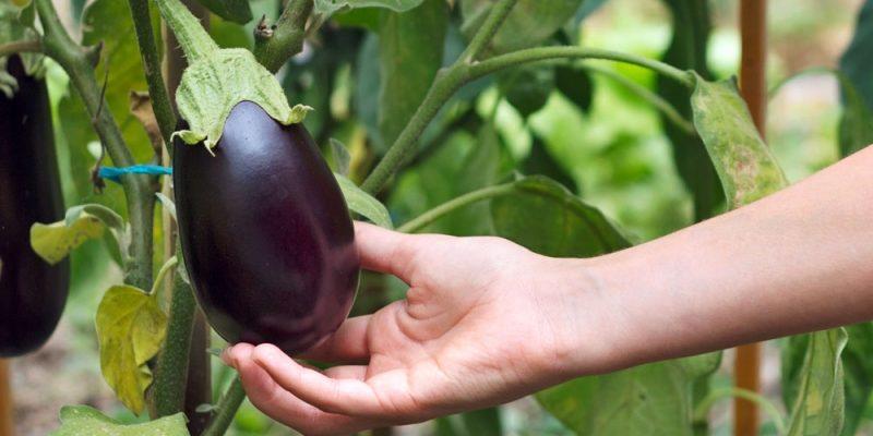 Корейский метод выращивания баклажанов