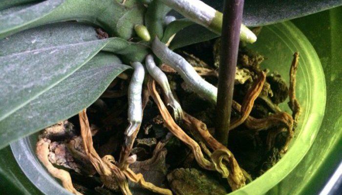 Корни орхидеи гниют и сохнут, что делать?