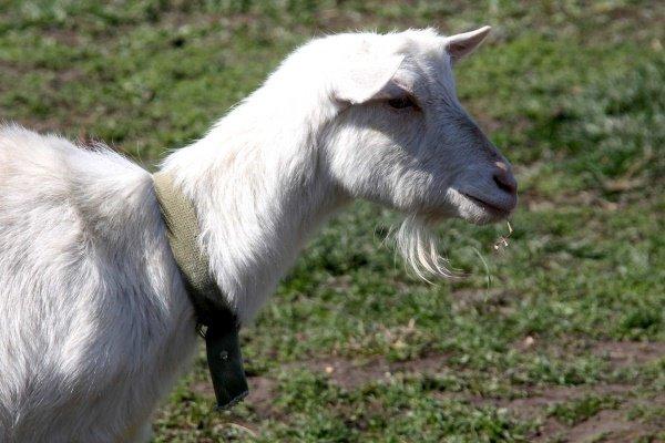 Коза породы Русская белая: экстерьер, стандарты, содержание и уход