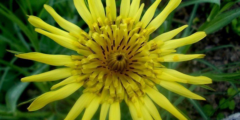 КОЗЛОБОРОДНИК описание, полезные свойства и фото растения
