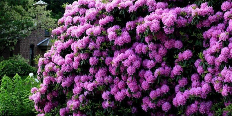 Красивые и неприхотливые цветущие кустарники, для вашего сада