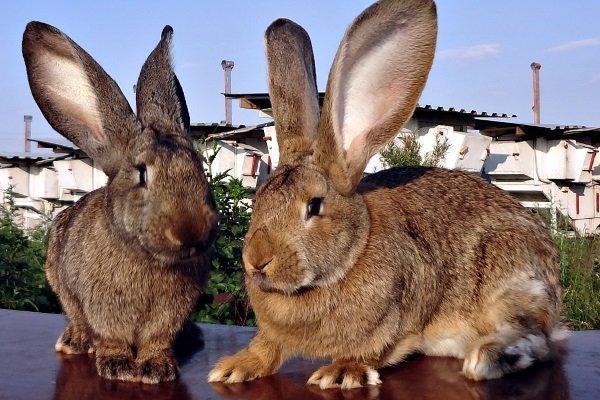 Кролик Фландр (или Бельгийский великан): описание и главные характеристики