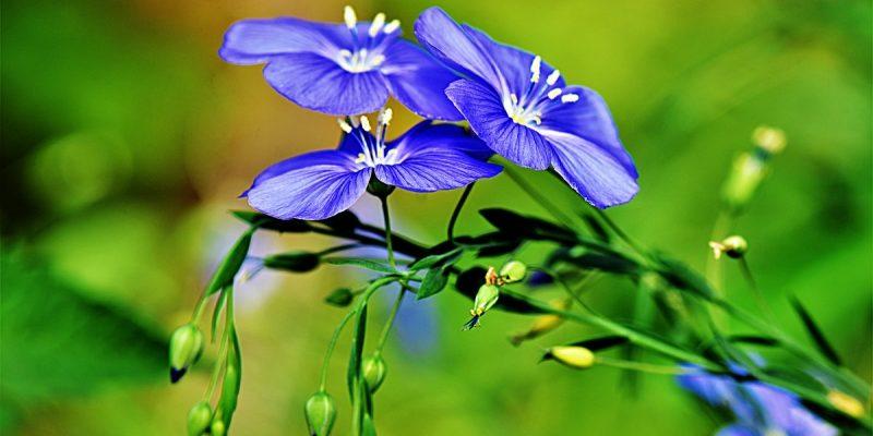 Лен прекрасный, нежный цветок для сада