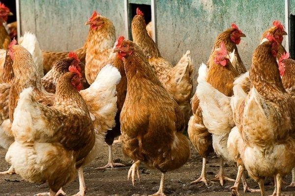 Лучшие куры мясо яичных пород