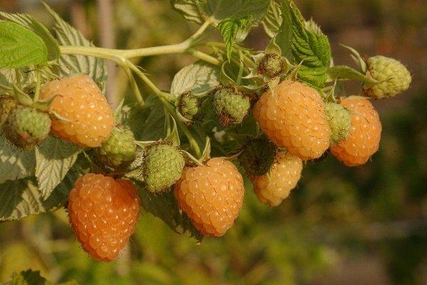 Лучшие сорта желтой малины: правила её выращивания и ухода