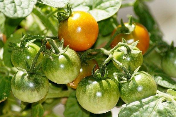 Лучшие способы ускорить созревание помидор