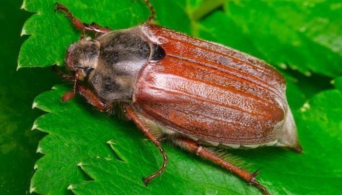 Майский жук (хрущ)