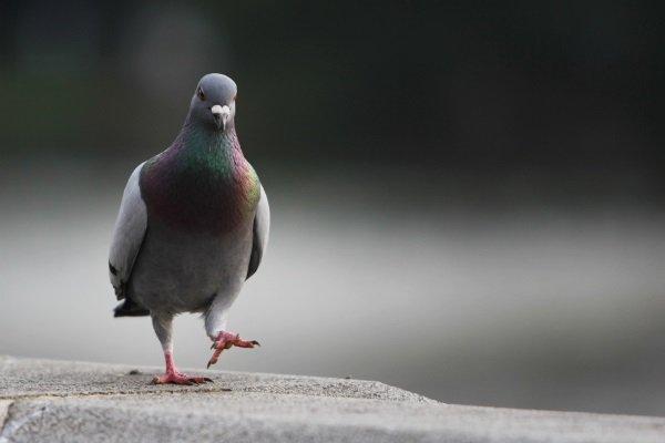 Места обитания и продолжительность жизни голубей