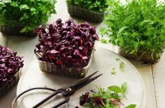 Микрозелень – выращивание в домашних условиях