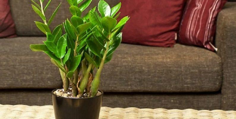 Мое новое растение замиокулькас. Имеет прекрасный внешний вид, однако эти пятна на стеблях