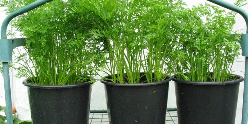 Морковь на рассаду когда сажать, можно ли выращивать через рассаду