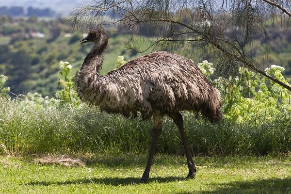 Можно ли разводить страусов эму в домашнем хозяйстве?