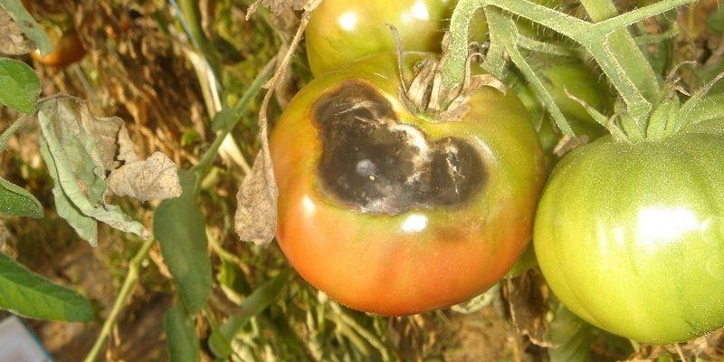 Мухи самые опасные вредители и причина гниения помидор изнутри