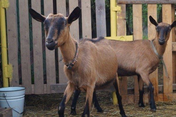 Обзор Чешских коз – главные характеристики и особенности содержания
