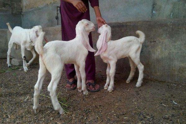 Обзор коз породы Гулаби: особенности внешнего вида и содержания