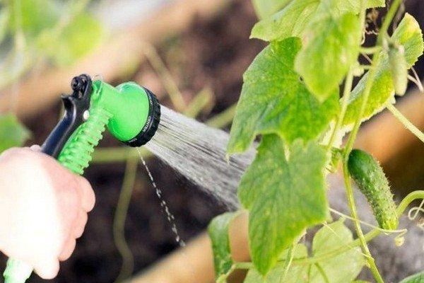 Обзор правил и методов полива огурцов в открытом грунте и теплице