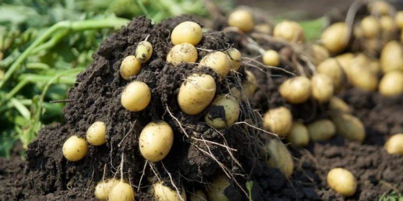 Один немец рассказал хитрость, как они повышают урожайность картошки