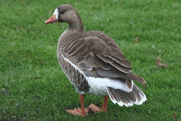 Описание Белолобого гуся: чем примечательна эта дикая птица?