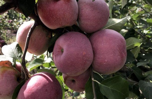 Описание сорта яблони Флорина – урожайность, характеристика яблок, фото, отзывы