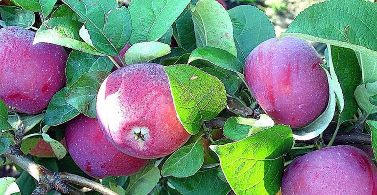 Описание сорта яблони Орлик, отзывы садоводов, фото