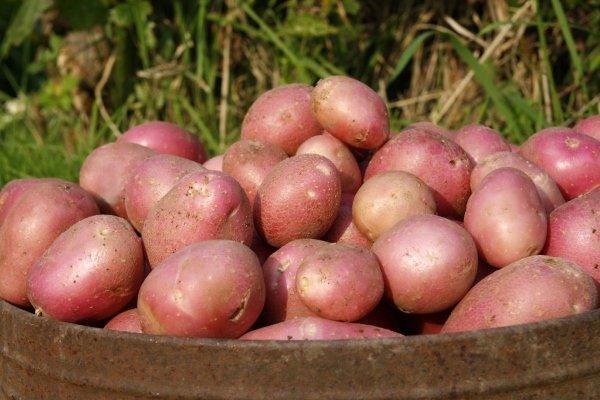 Описание сорта картофеля Алладин и правила его выращивания