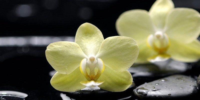 Орхидея: уход и размножение в домашних условиях, температура, полив, влажность, освещение