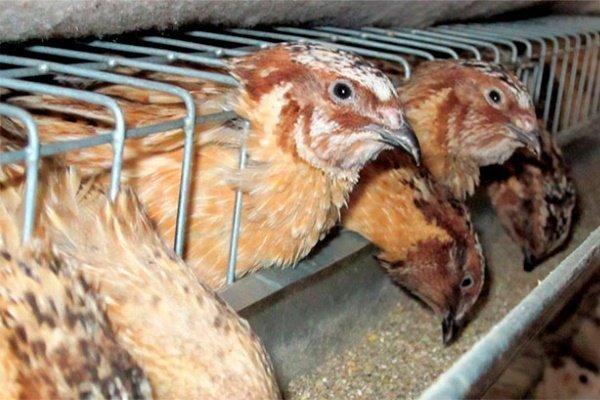 Основы кормления перепелов: как и чем кормить птиц?
