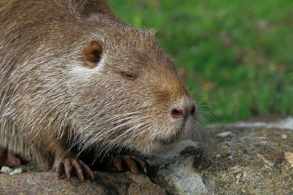 Основы разведения нутрий: от закупки животного до его реализации