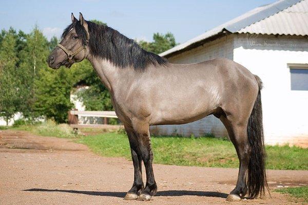 Особенности мышастой масти лошадей