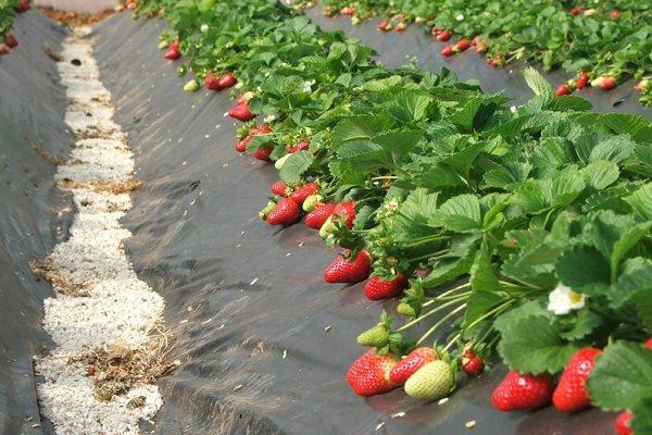 Особенности посадки и выращивания клубники под пленкой