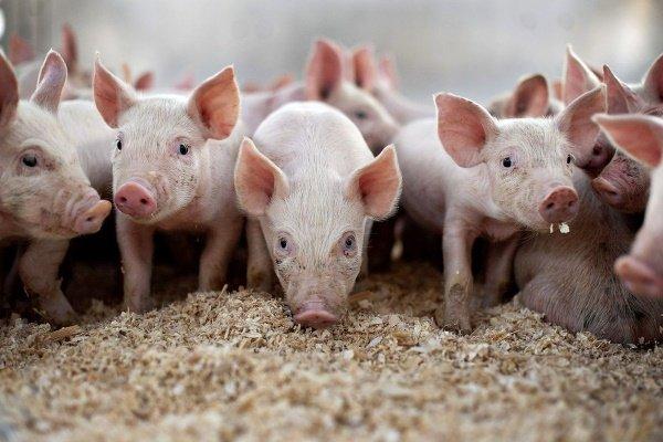 Особенности применения глубокой подстилки для свиней